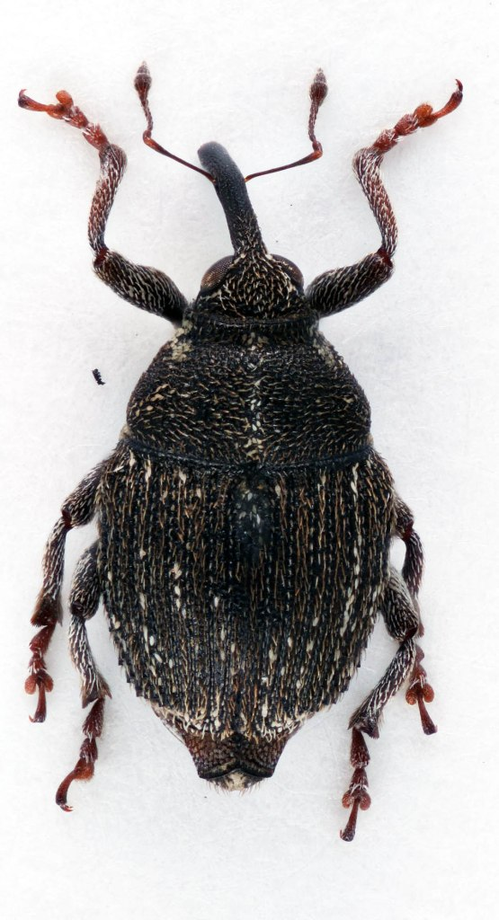 Portugal_1_Glocianus distinctus_4mm