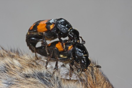 Nicrophorus-vespilloides-copulation-1024x683