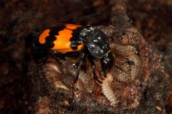 Nicrophorus-vespilloides-feeding-1024x683