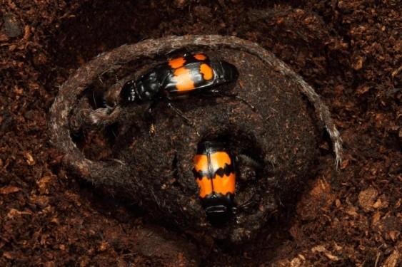 Nicrophorus-vespilloides-pair-on-carcass-1024x683