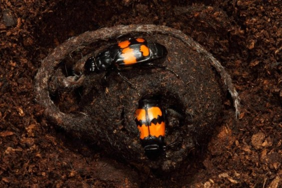 Nicrophorus-vespilloides-pair-on-carcass-1024x683