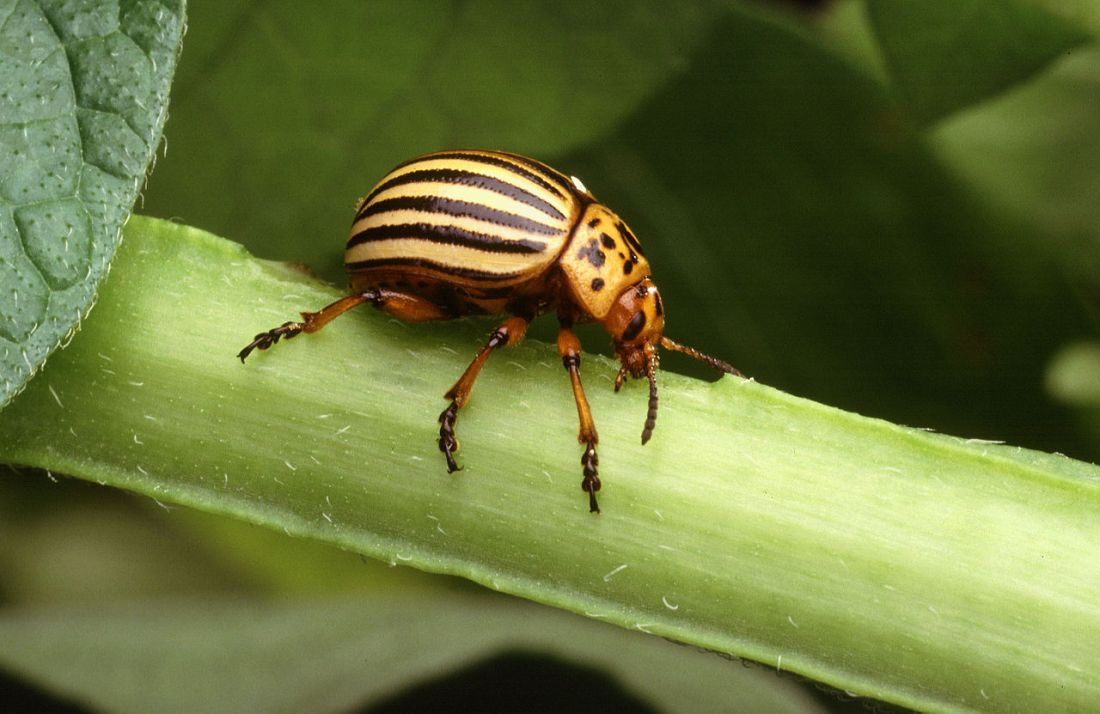 1280px-colorado_potato_beetle