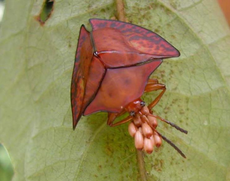 acromisspinifex-trinidad-chaboo
